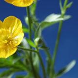 Elixirs floraux